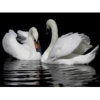 34058 Диамантен гоблен - Двойка лебеди